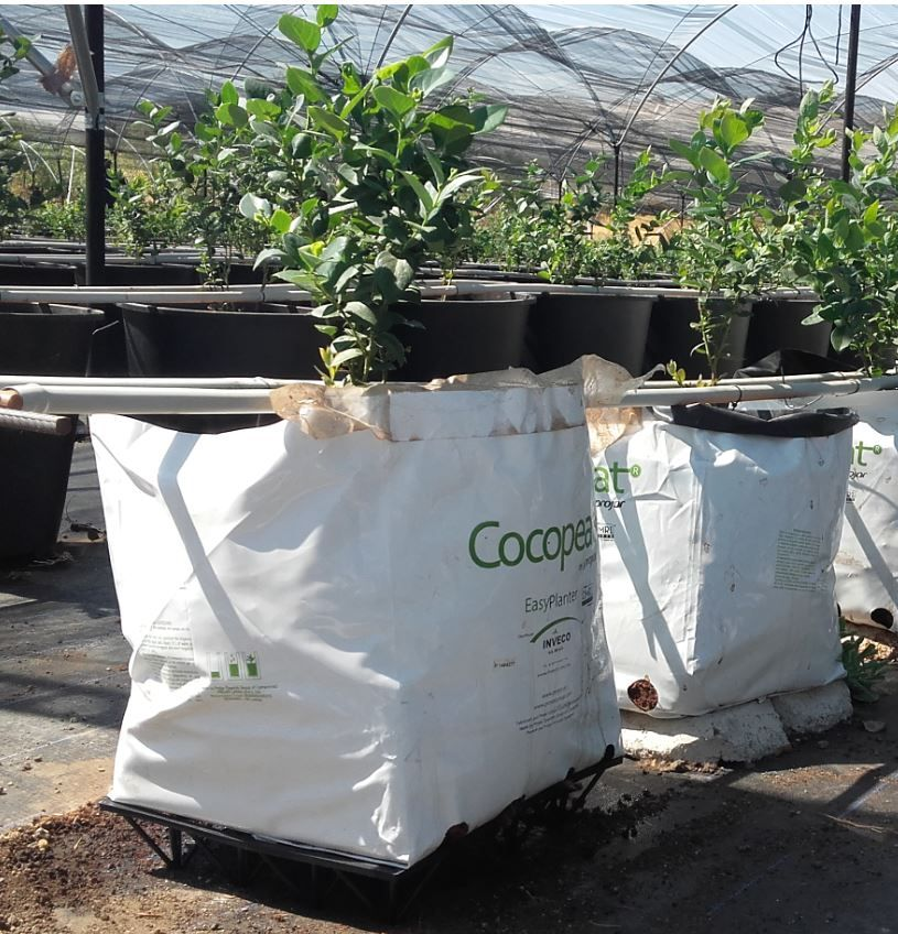 cultivo arandanos